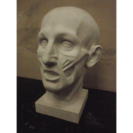 Гипсовая модель «Голова экорше»